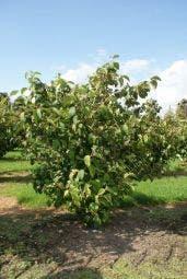 Sneeuwbal (Viburnum plicatum 'Tomentosum')