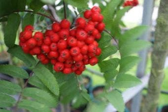 Gewone lijsterbes (Sorbus aucuparia)