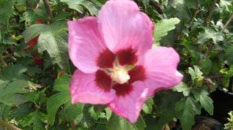 Altheastruik op stam (Hibiscus syriacus 'Woodbridge')