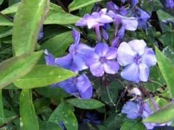 Vlambloem (Phlox paniculata 'Blue Paradise')