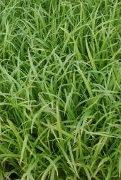 Cyperzegge (Carex pseudocyperus)