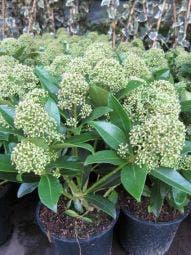 Skimmia (Skimmia japonica 'Fragrant Cloud')