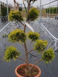Cupressocyparis als bonsai (Cupressocyparis leylandii 'Gold Rider')