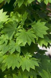 Japanse esdoorn (Acer japonicum 'Vitifolium')