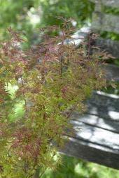 Japanse esdoorn (Acer palmatum 'Beni-komachi')