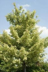 Bontbladige Esdoorn (Acer pseudoplatanus 'Leopoldii')