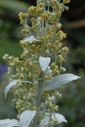 Bijvoet (Artemisia ludoviciana 'Valerie Finnis')
