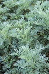 Alsem (Artemisia  'Powis Castle')