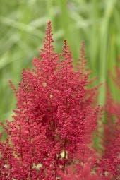Spirea (Astilbe 'Red Sentinel')