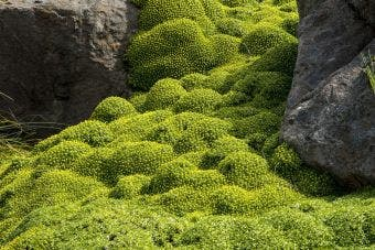 Azorella (Azorella trifurcata)