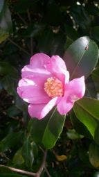 Camellia (Camellia sasanqua), bloem