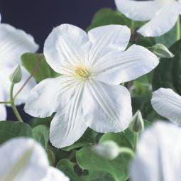 Bosrank (Clematis 'Madame Le Coultre')