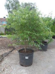 Kornoelje (Cornus alternifolia) 175/200/250 cm
