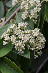 Dwergmispel op stam (Cotoneaster lacteus)