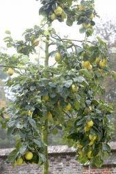 Kweepeer (Cydonia oblonga)
