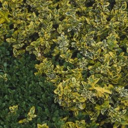Kardinaalshoed op stam (Euonymus fortunei 'Emerald Gold')