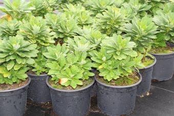 Wolfsmelk (Euphorbia amygdaloides 'Robbiae')