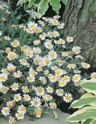 Kamille (Anthemis carpatica 'Karpatenschnee')