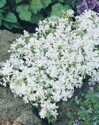 Kruipphlox (Phlox 'Calvides White')