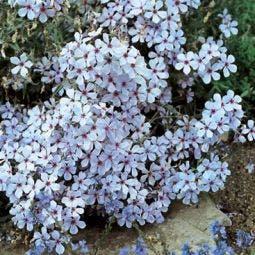 Vlambloem (Phlox divaricata 'Chattahoochee')