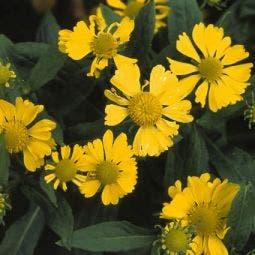 Zonnekruid (Helenium 'Kanaria')