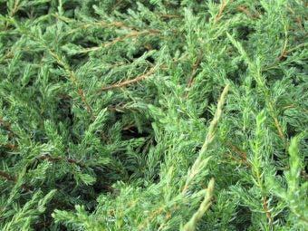 Jeneverbes (Juniperus communis 'Repanda')