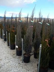 Juniperus scopulorum 'Blue Arrow' 150/175 cm