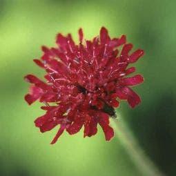 Beemdkroon (Knautia macedonica)