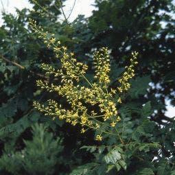 Zeepboom (Koelreuteria paniculata)