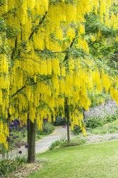 Gouden Regen (Laburnum watereri 'Vossii')