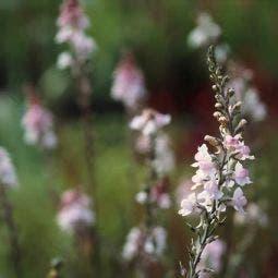 Vlasleeuwebek (Linaria purpurea 'Canon J. Went')