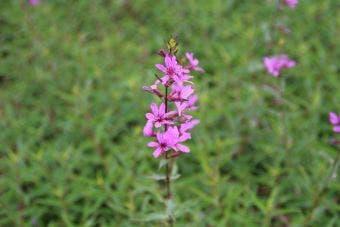 Kattestaart (Lythrum virgatum 'Dropmore Purple')