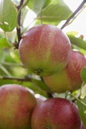 Appelboom (Malus domestica 'Sterappel')