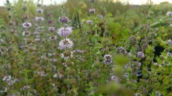 Engelse Munt/pepermunt (Mentha pulegium)