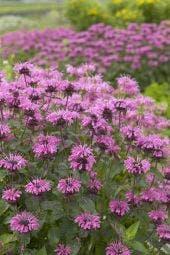 Bergamotplant/Hanekam (Monarda 'Croftway Pink')