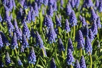 Muscari 'Armeniacum' Blauw