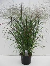 Vingergras (Panicum virgatum 'Squaw') C10