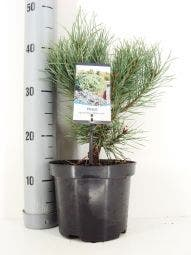 Grove den (Pinus sylvestris 'Watereri') 25/30cm C3