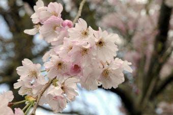 Japanse sierkers (Prunus subhirtella 'Autumnalis')