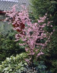 Perzikboom (Prunus persica)