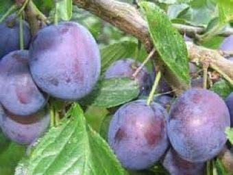 Pruimenboom (Prunus domestica 'The Czar')