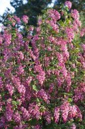 Ribes (Ribes sanguineum)