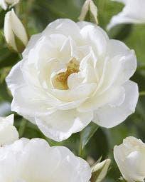 Klimroos (Rosa 'Climbing Schneewittchen')