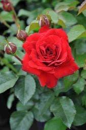 Trosroos (Rosa 'Nina Weibull')