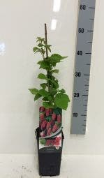 Taybes (Rubus 'Tayberry') 50/60 cm