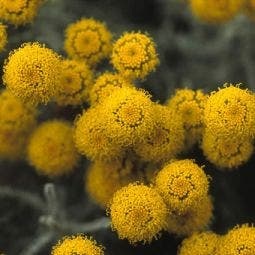 Heiligenbloem (Santolina chamaecyparissus)
