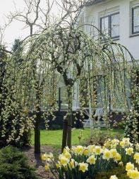 Treurwilg op stam (Salix caprea 'Kilmarnock')