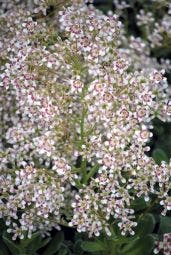 Steenbreek (Saxifraga cotyledon 'Southside Seedling')