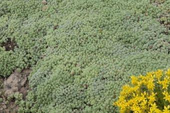 Vetkruid (Sedum hispanicum var. minus)