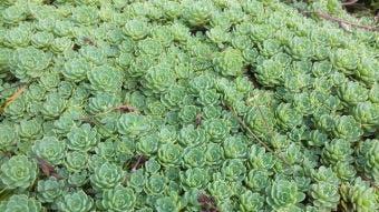 Vetkruid (Sedum pachyclados)